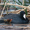 American Coot and Colorful Chick