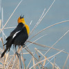 Yellow-Headed Blackbird Singing His Heart Out in Spring
