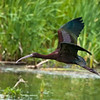 A Mystical Bird - The White-Faced Ibis