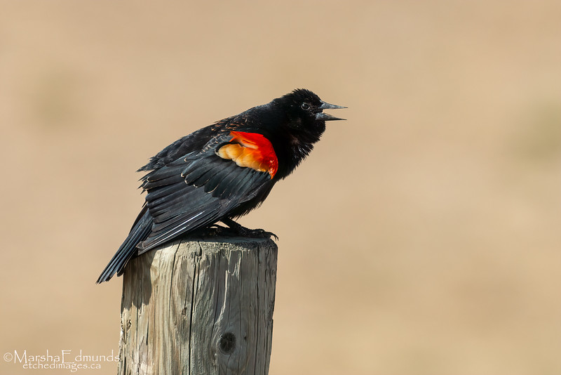 Red Winged Blackbird Courting