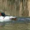 Common Merganser Pair - Courting
