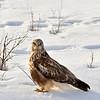 Rough legged hawk in Klamath National Wildlife Refuge. Winter snow.