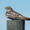 Common Nighthawk Dozing