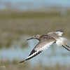 Willet at the Edge of Shallow Marsh