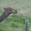Swainson's Hawk Taking to Flight