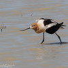 American Avocet Pretending to be Injured