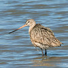 Marbled Godwit Fishing
