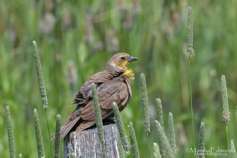 Yellow-Headed Blackbird - Female