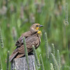 Yellow-Headed Blackbird - Female