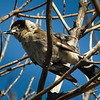 Grey Butcherbird in Early Morning