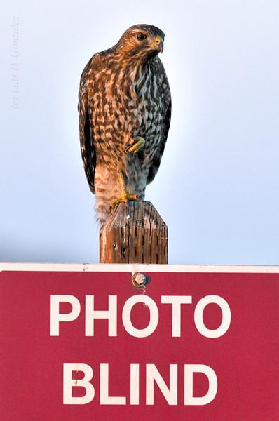Redtail Hawk sitting on sign at Merced Wildlife Refuge