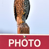 Redtail Hawk sitting on sign at Merced Wildlife Refuge