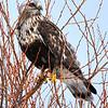 Rough legged hawk in Klamath National Wildlife Refuge. Winter, Tree.