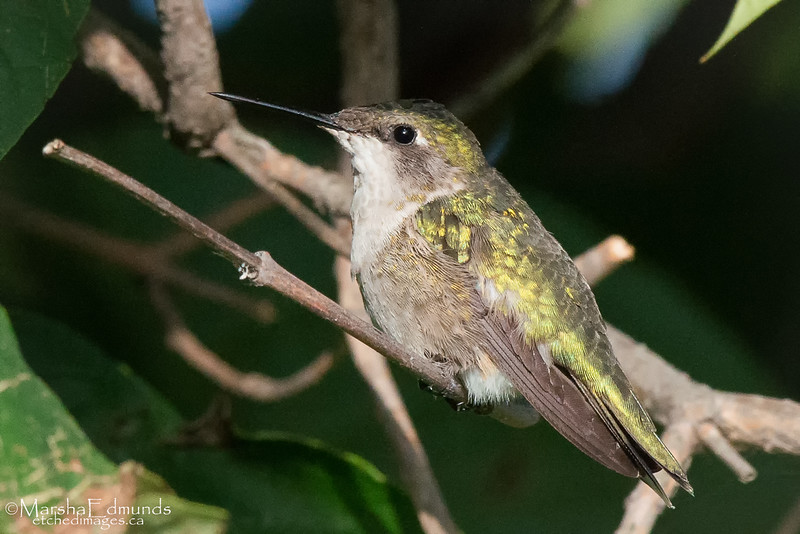 Ruby-Throated Hummingbird Female-Tongue Extended