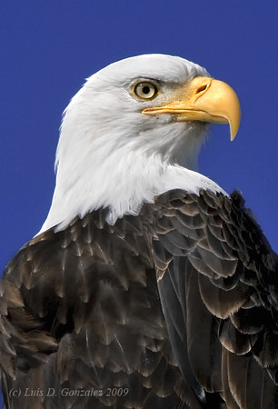 Bald Eagle in Klamath National Wildlife Refuge. Winter snow.