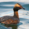 Horned Grebe Fishing