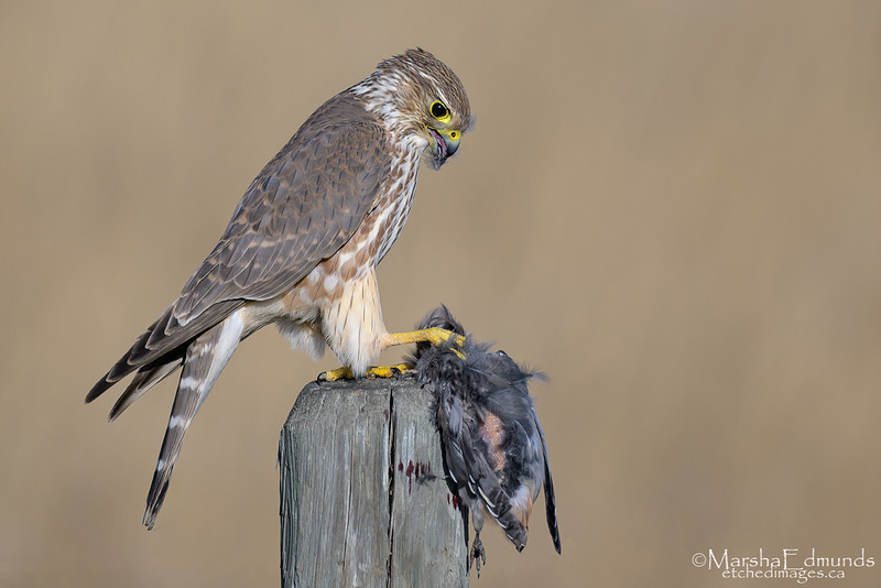 Merlin Focused On Preparing His Prey