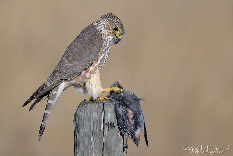 Merlin Focused On Preparing His Prey