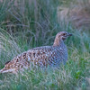 Sharp-Tailed Grouse Female at the Lek