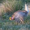 Sharp-Tailed Grouse Mating Ritual Dance