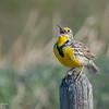 Spring Serenade - Western Meadowlark