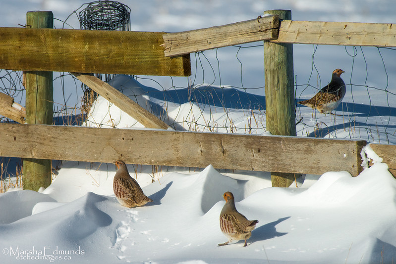 Gray Partridge Negotiating the Drifts