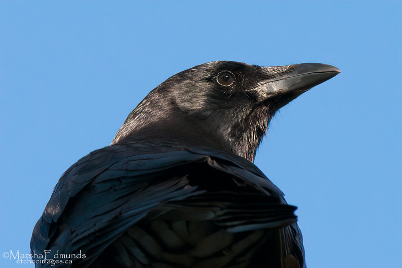 American Crow With a Sunbeam for a Spotlight