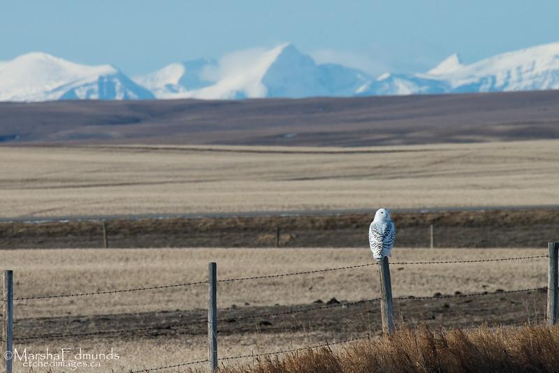 Rocky Mountain Backdrop - Snowy Owl