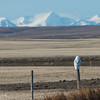 Rocky Mountain Backdrop - Snowy Owl