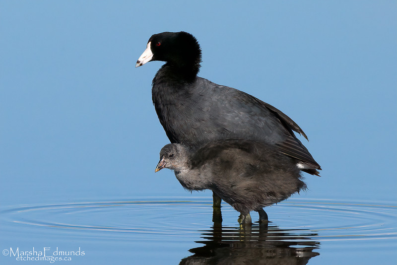 American Coot Sticking by Mother's Side