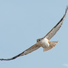 Taking to Flight - Ferruginous Hawk