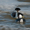 A Series of 5 Photographs -Mating Ritual of the Western Grebe 1