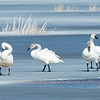 A Bit Icy for These Tundra Swans