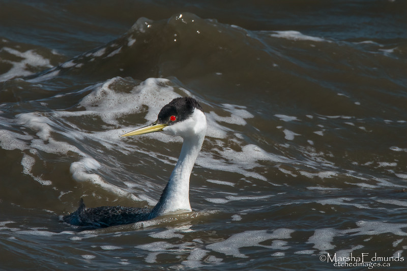 Choppy Water Conditions for a Western Grebe