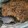 American Dipper Delivering Food to Nest of Noisy Chicks