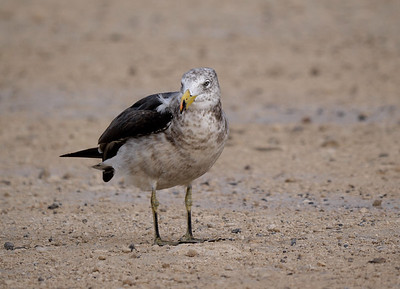 Pacific Gull young2