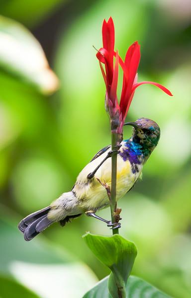 Variable Sunbird (Cinnyris venustus).
