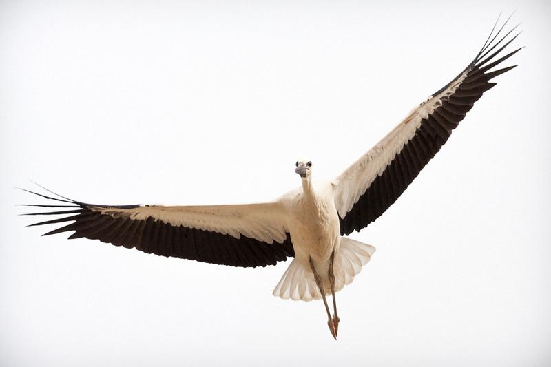 White Stork, juvenile (Ciconia ciconia).