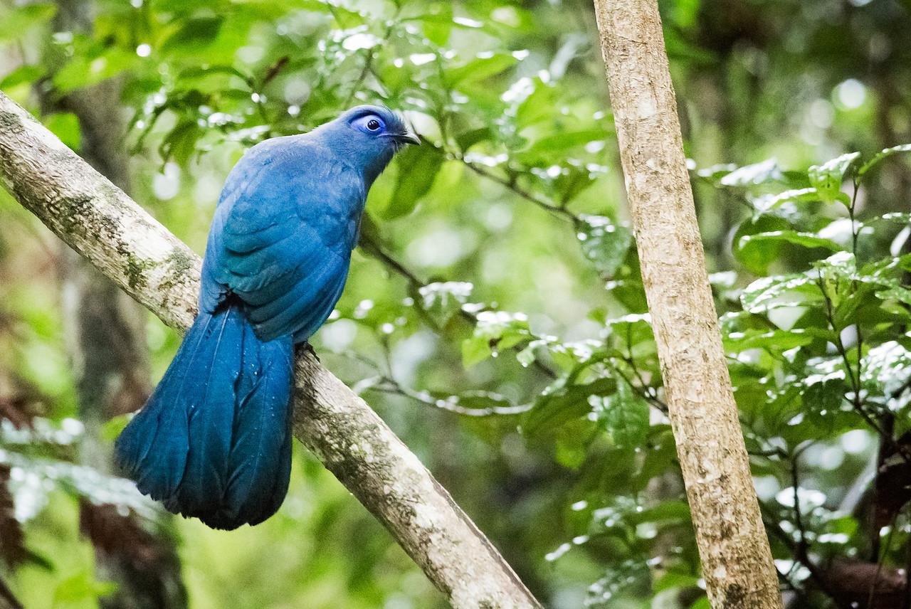 Blue Coua (Coua caerulea).