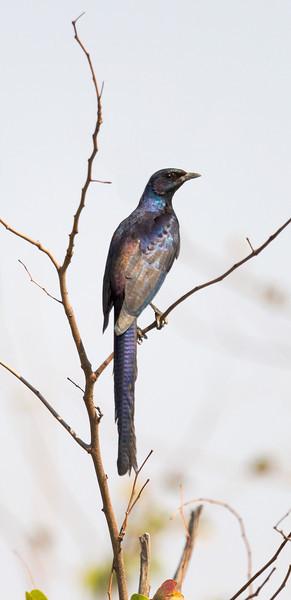 Meves's starling (Lamprotornis mevesii)