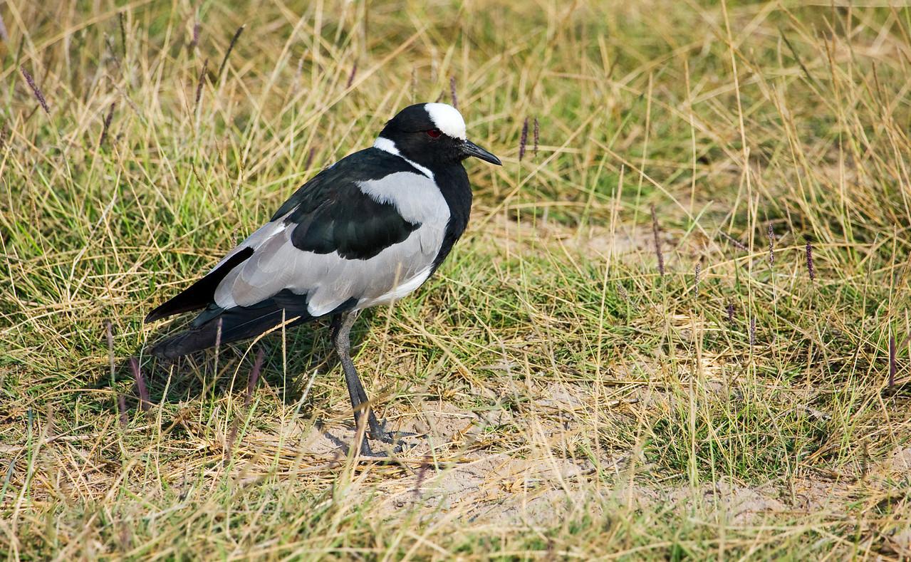 Blacksmith Plover (Vanellus armatus).