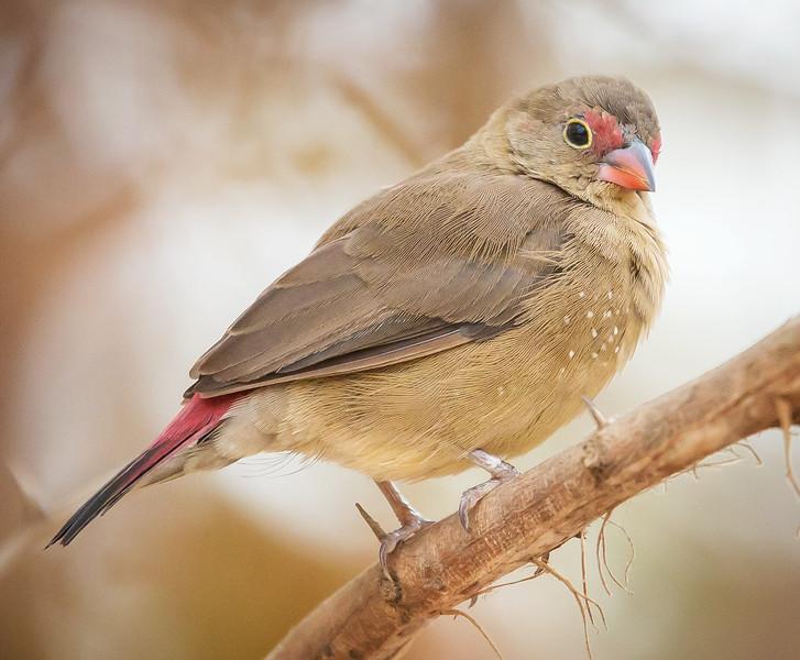 Red-billed Firefinch, female (Lagonosticta senegala).