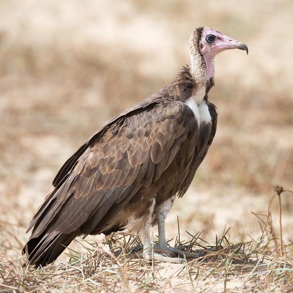 Hooded Vulture (Necrosyrtes monachus).
