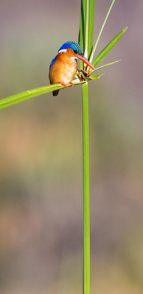 Malachite Kingfisher (Corythornis cristatus).