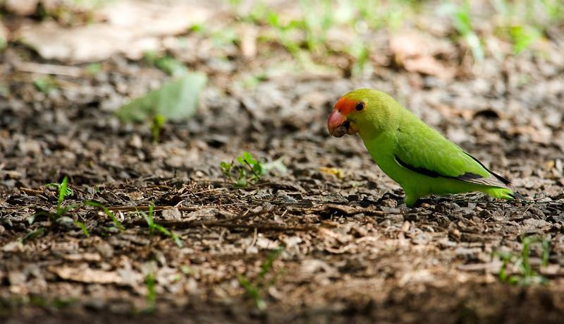 Abyssinian Love Bird, male (Agapornis taranta).
