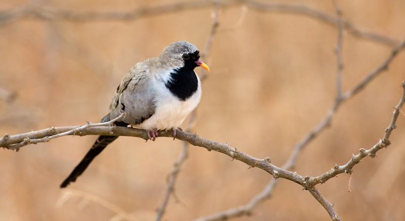 Namaqua Dove (Oena capensis).