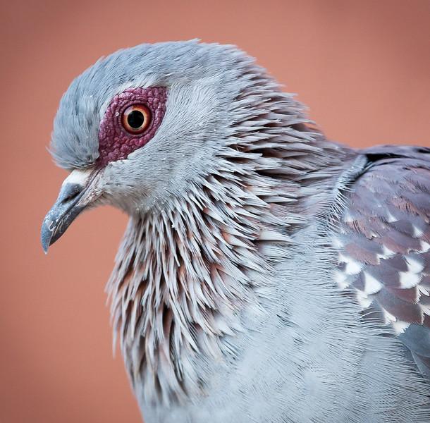 Speckled Pigeon (Columba guinea).