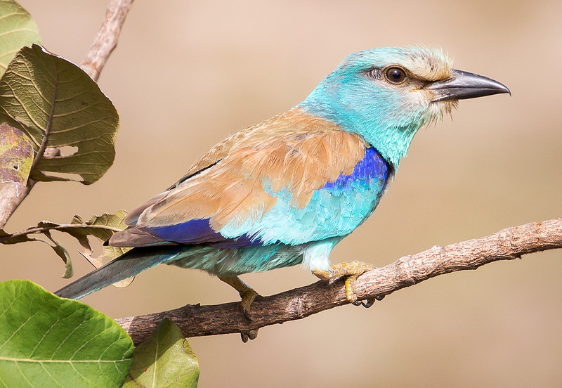 Abyssinian Roller (Coracias abyssinicus).