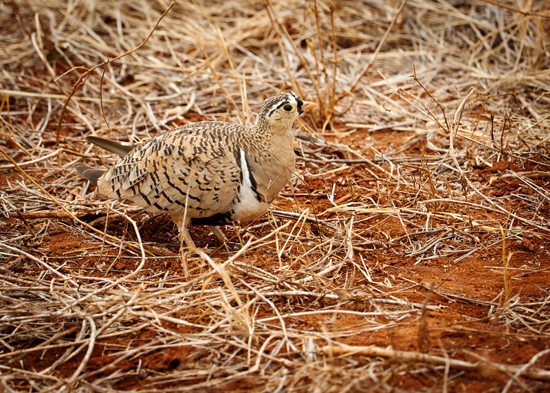 Black-Faced Sandgrouse (Pterocles decoratus).