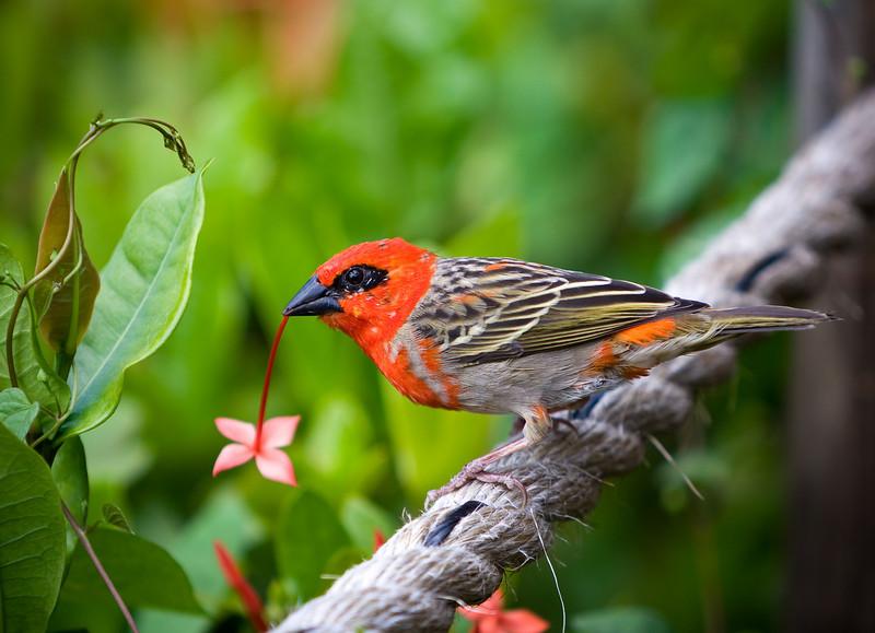 Red (or Madagascar) Fody (Foudia madagascariensis).